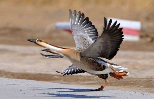 大雁生活习性及经济价值——养殖大雁知识